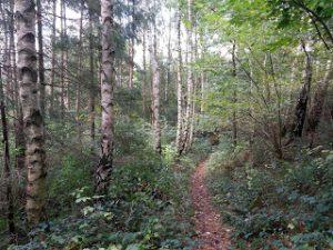 Birkenwald in der holsteinischen Schweiz